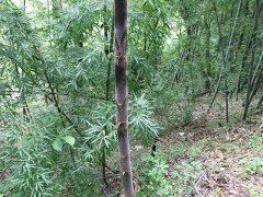 160528竹皮採り01