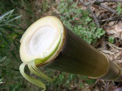 160528竹皮採り03